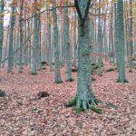 Castañar de El Tiemblo, otoño puro en Ávila