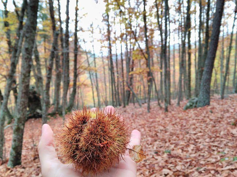 castaña el tiemblo otoño