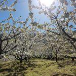 El Cerezo en Flor del Valle del Jerte, una fiesta natural