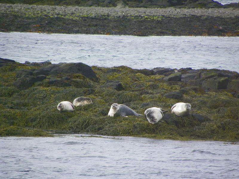 focas en vatnsnes