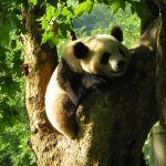 Visita al Centro de conservación de Osos Panda de Chengdu