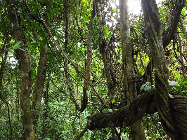 Lianas en la selva amazónica peruana