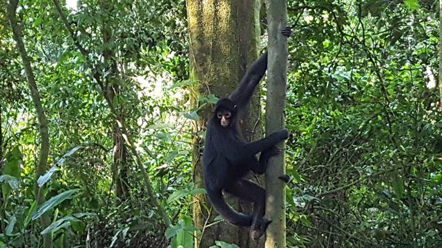 Especie de mono grande en Eco Amazonia