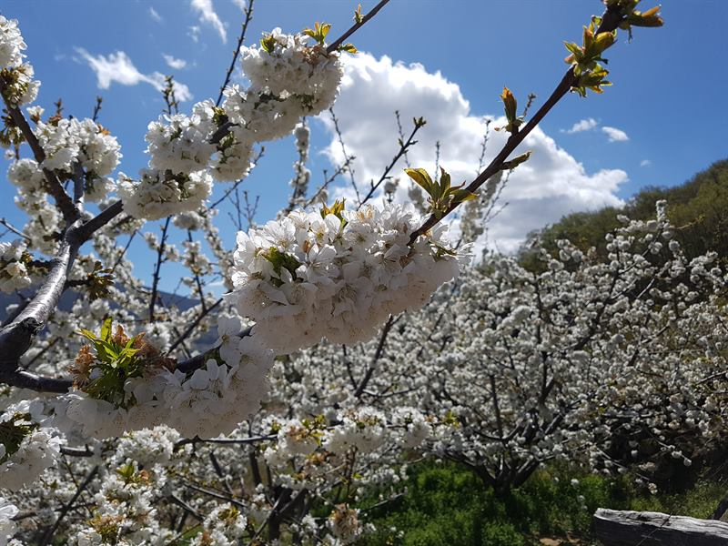 El cerezo en flor en el Valle del Jerte