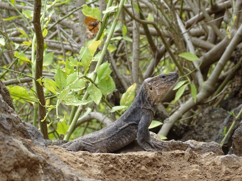 lagarto canario