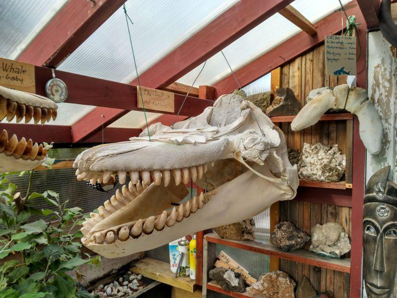 esqueleto ballena djupivogur
