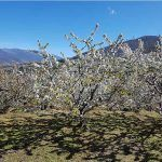 Cuándo visitar el cerezo en flor del Valle del Jerte