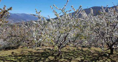 Fecha del cerezo en flor del Jerte