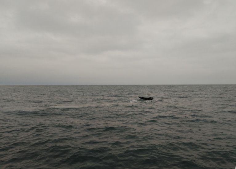 cola ballena avistamiento husavik
