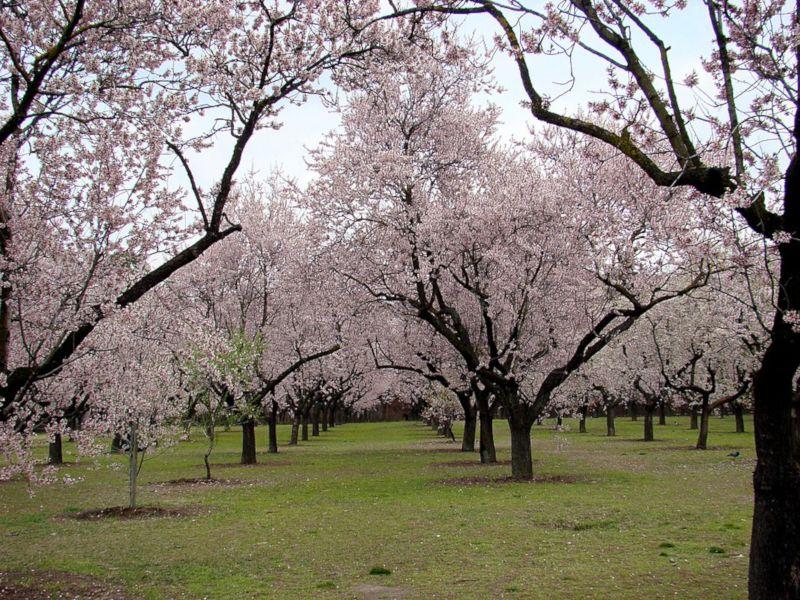 floración almendro quinta molinos madrid