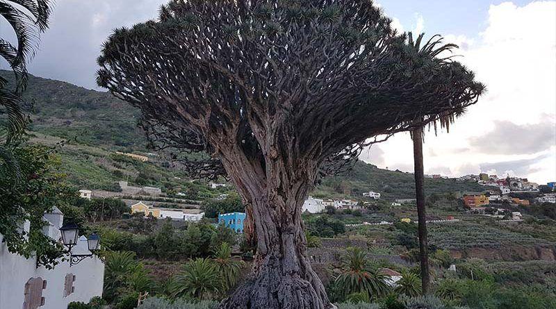 El famoso árbol de Tenerife