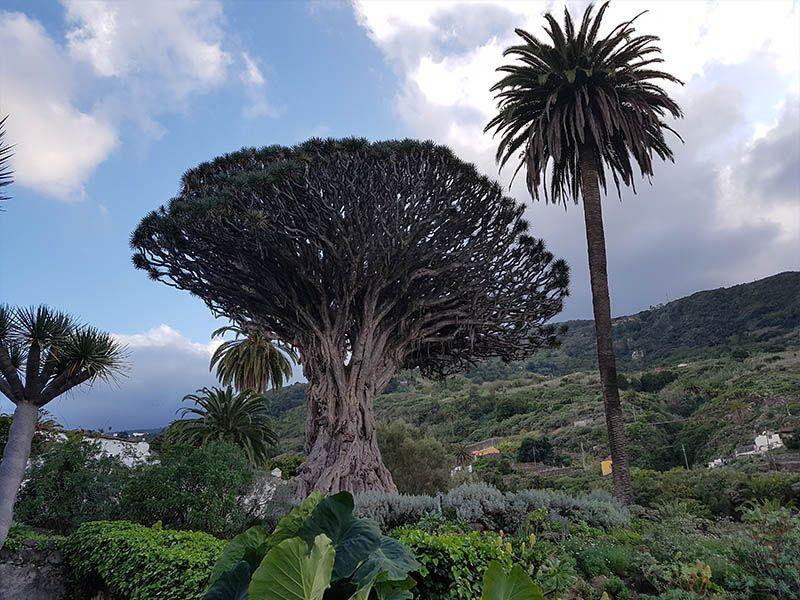 El Drago Milenario, un icono en la isla de Tenerife