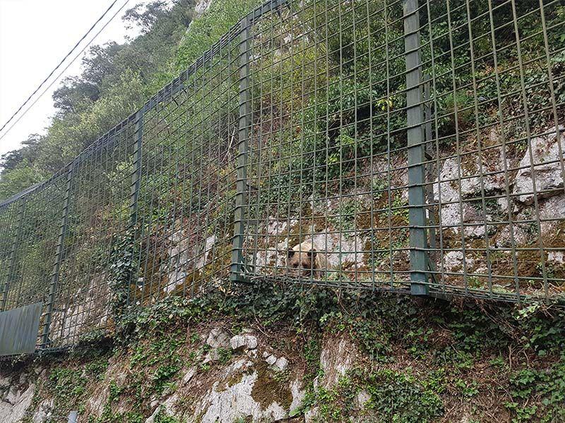 Osa en la Senda del Oso de Asturias